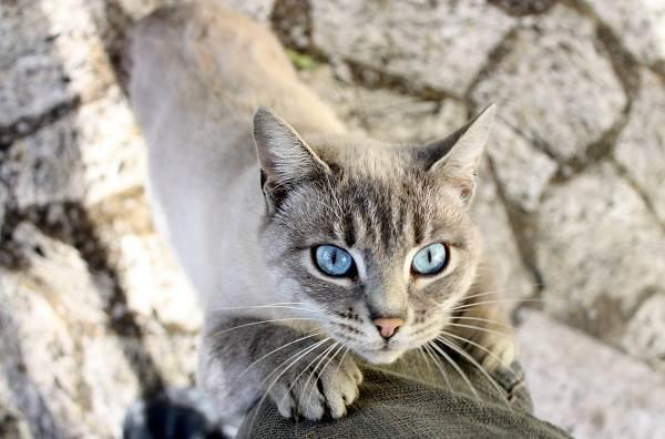 Кошка-охос-азулес-Её-характер-особенности-ухода-за-ней-и-история-породы-5