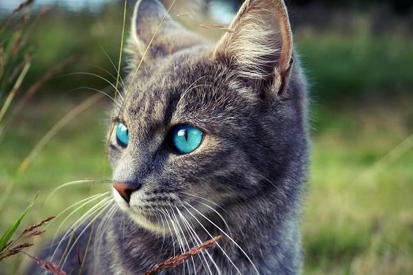 Кошка-охос-азулес-Её-характер-особенности-ухода-за-ней-и-история-породы-6