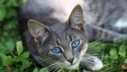 Кошка охос азулес. Её характер, особенности ухода за ней и история породы