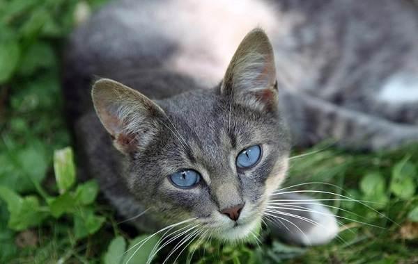 Кошка-охос-азулес-Её-характер-особенности-ухода-за-ней-и-история-породы-7