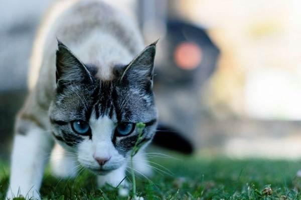 Кошка-охос-азулес-Её-характер-особенности-ухода-за-ней-и-история-породы-9
