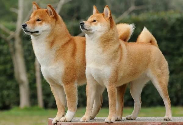 Сиба-ину-порода-собак-Описание-особенности-характер-и-уход-1