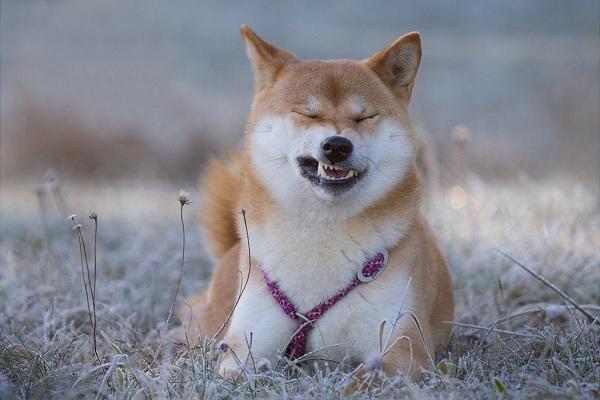 Сиба-ину-порода-собак-Описание-особенности-характер-и-уход-12