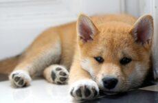 Сиба ину порода собак. Описание, особенности, характер и уход