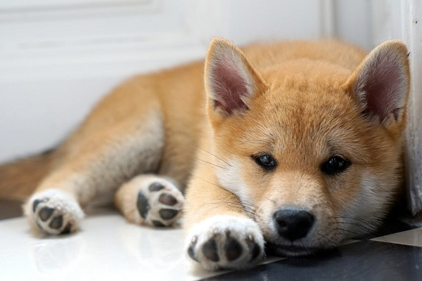 Сиба-ину-порода-собак-Описание-особенности-характер-и-уход-13