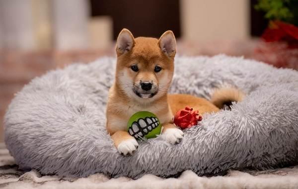 Сиба-ину-порода-собак-Описание-особенности-характер-и-уход-4