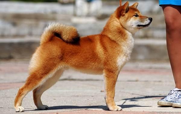 Сиба-ину-порода-собак-Описание-особенности-характер-и-уход-7