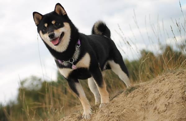 Сиба-ину-порода-собак-Описание-особенности-характер-и-уход-8