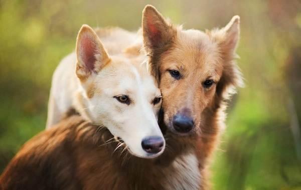 Течка-у-собак-сколько-длится-и-что-делать-4