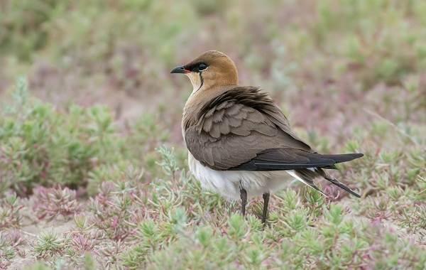 Тиркушка-птица-Описание-особенности-образ-жизни-и-среда-обитания-1