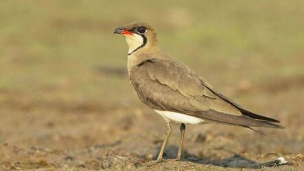 Тиркушка птица. Описание, особенности, образ жизни и среда обитания