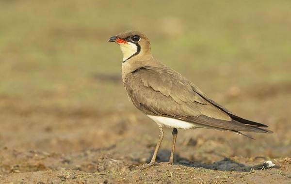 Тиркушка-птица-Описание-особенности-образ-жизни-и-среда-обитания-10