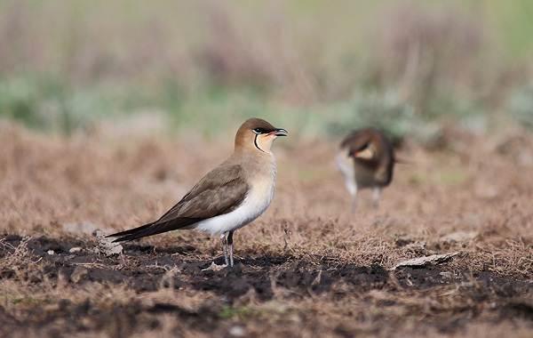 Тиркушка-птица-Описание-особенности-образ-жизни-и-среда-обитания-11