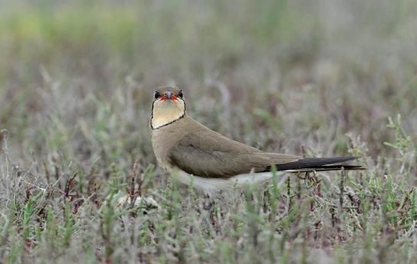 Тиркушка-птица-Описание-особенности-образ-жизни-и-среда-обитания-12
