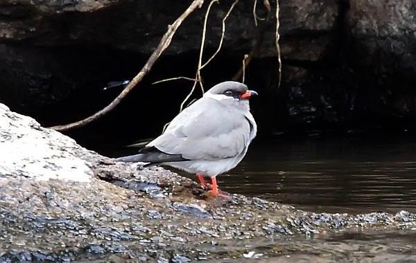 Тиркушка-птица-Описание-особенности-образ-жизни-и-среда-обитания-13