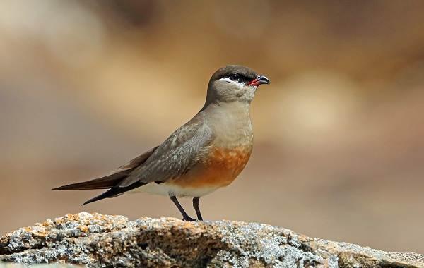 Тиркушка-птица-Описание-особенности-образ-жизни-и-среда-обитания-14