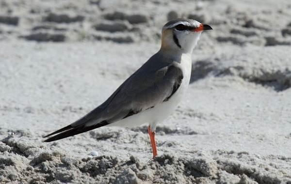 Тиркушка-птица-Описание-особенности-образ-жизни-и-среда-обитания-15