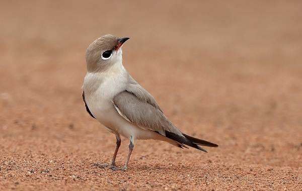 Тиркушка-птица-Описание-особенности-образ-жизни-и-среда-обитания-16