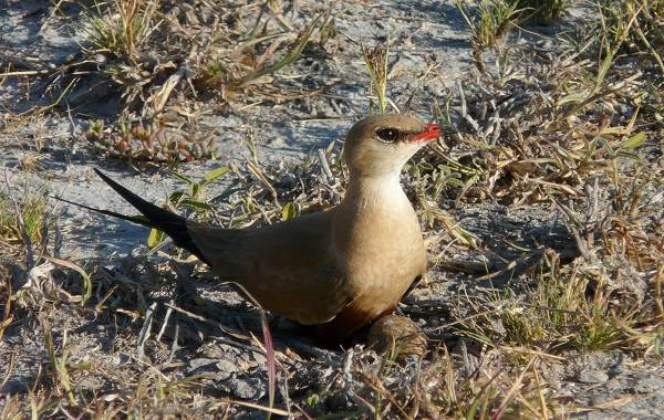 Тиркушка-птица-Описание-особенности-образ-жизни-и-среда-обитания-17