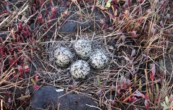 Тиркушка-птица-Описание-особенности-образ-жизни-и-среда-обитания-19