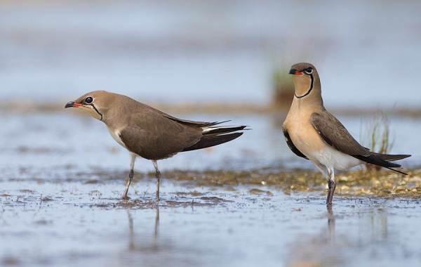 Тиркушка-птица-Описание-особенности-образ-жизни-и-среда-обитания-2