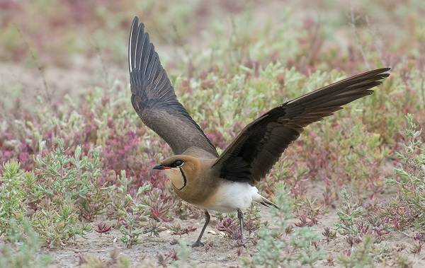 Тиркушка-птица-Описание-особенности-образ-жизни-и-среда-обитания-3