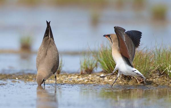 Тиркушка-птица-Описание-особенности-образ-жизни-и-среда-обитания-7