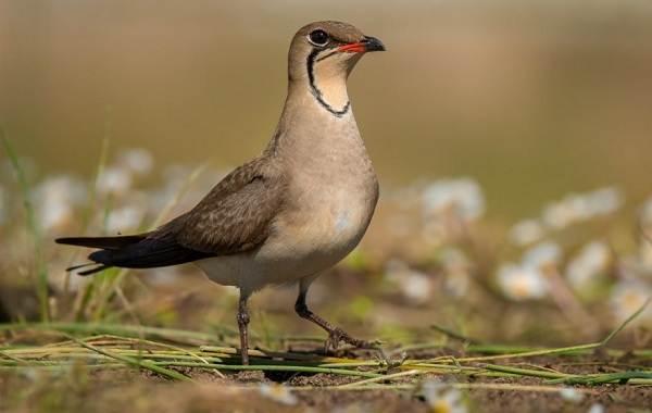 Тиркушка-птица-Описание-особенности-образ-жизни-и-среда-обитания-8