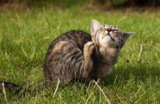 15 лучших капель на холку от блох для кошек
