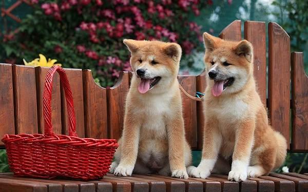 Акита-ину-порода-собак-Описание-особенности-характер-уход-и-цена-12