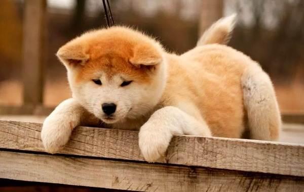 Акита-ину-порода-собак-Описание-особенности-характер-уход-и-цена-13