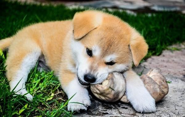 Акита-ину-порода-собак-Описание-особенности-характер-уход-и-цена-14