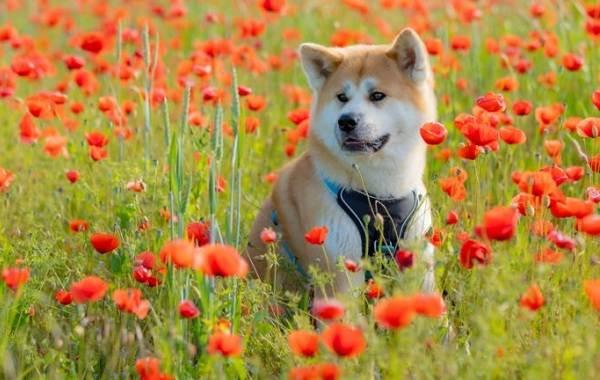 Акита-ину-порода-собак-Описание-особенности-характер-уход-и-цена-15