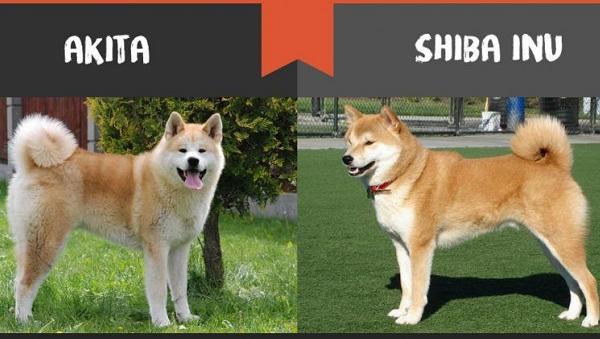 Акита-ину-порода-собак-Описание-особенности-характер-уход-и-цена-16