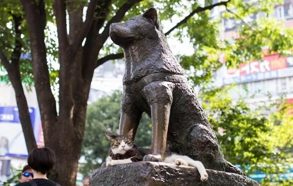 Акита-ину-порода-собак-Описание-особенности-характер-уход-и-цена-2