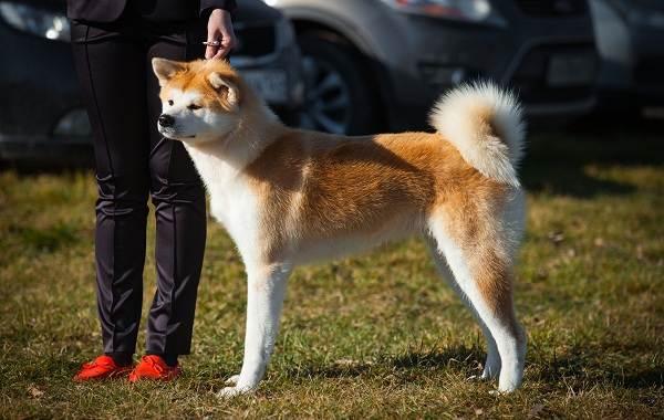 Акита-ину-порода-собак-Описание-особенности-характер-уход-и-цена-3