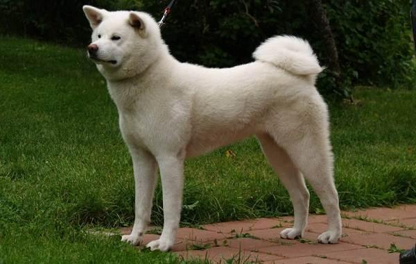 Акита-ину-порода-собак-Описание-особенности-характер-уход-и-цена-7