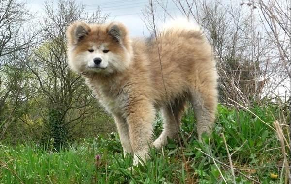 Акита-ину-порода-собак-Описание-особенности-характер-уход-и-цена-8