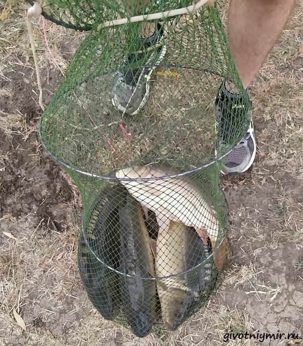 Рыбалка-в-августе-на-голого-(кожистого)-карпа-Платный-водоём-2
