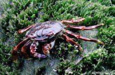 Крабы Черного моря, их особенности, названия и образ жизни