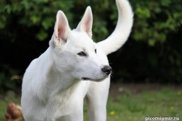Ханаанская-собака-Описание-особенности-характер-и-цена-породы-1