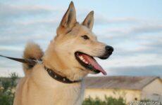 Ханаанская собака. Описание, особенности, характер и цена породы