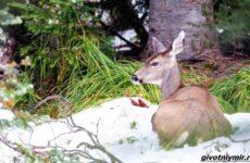 Две истории об оленях на льду, которые не выжили бы без помощи людей