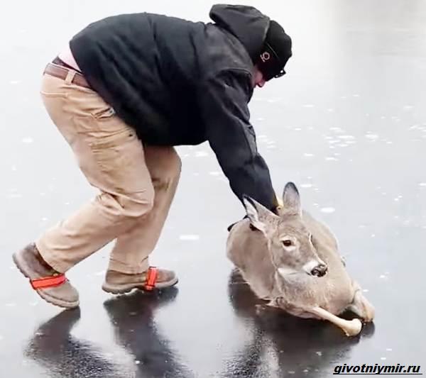 Две-истории-об-оленях-на-льду-которые-не-выжили-бы-без-помощи-людей-2