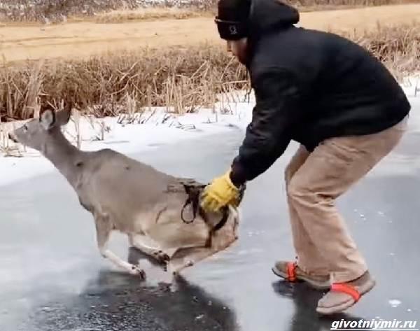 Две-истории-об-оленях-на-льду-которые-не-выжили-бы-без-помощи-людей-3