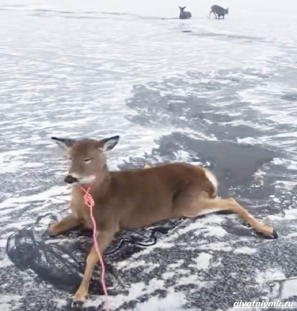 Две-истории-об-оленях-на-льду-которые-не-выжили-бы-без-помощи-людей-5