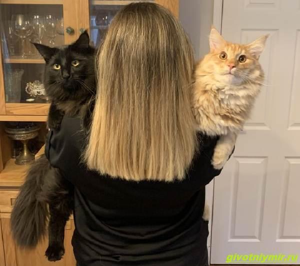 История-о-двух-котах-размер-которых-удивляет-Люди-не-верят-что-они-такие-огромные!-3