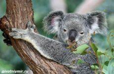 История о коале и новогодней ёлке