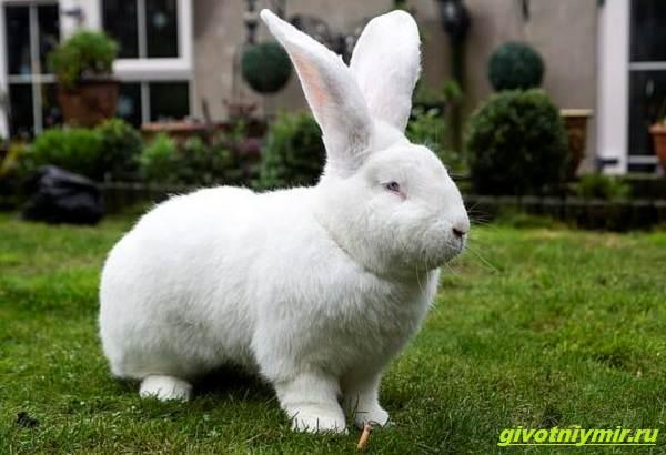 История-о-кролике-гиганте-по-имени-Джестер-1