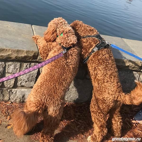 История-о-собаках-которых-разлучила-судьба-и-они-случайно-встретились-в-парке-2